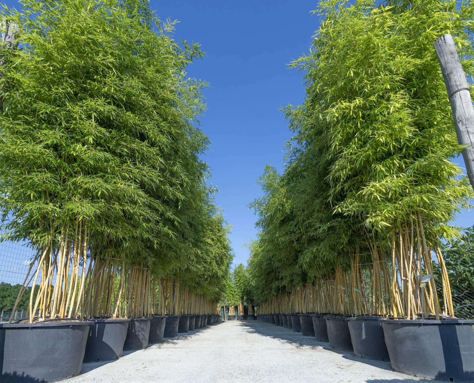 bambu piuvica vannucci piante